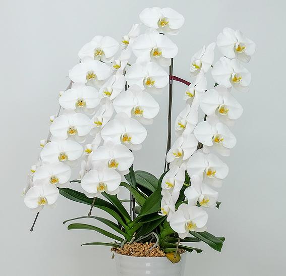 29 大輪胡蝶蘭3本立ち