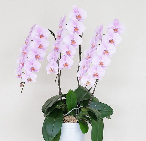 大輪ピンク胡蝶蘭3本立ち