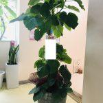 福岡市へ会社のオフィス移転お祝いの観葉植物をお届けしました