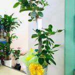 大牟田へ開業お祝いの観葉植物をお届けしました