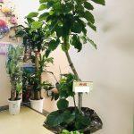 筑紫野市へリニューアルオープンお祝いの観葉植物をお届けしました