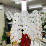 社長就任のお祝いに胡蝶蘭をお届けしました。